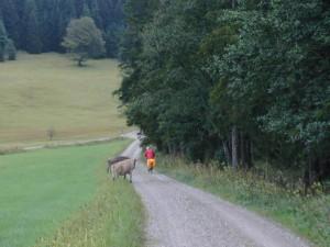 Da staunt das Rindvieh